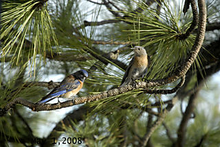 Bluebirds050108 (2)dated
