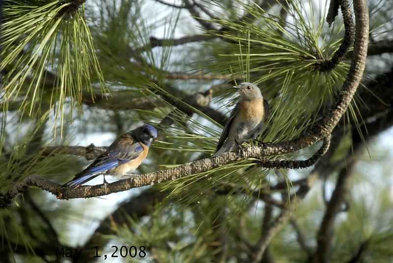 Bluebirds050108 (2)dated
