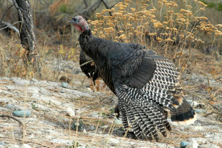 Turkeys_0736_edited-1