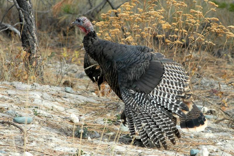 Turkeys_0736_edited-1