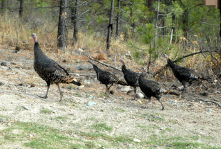 Turkeys_0732_edited-1