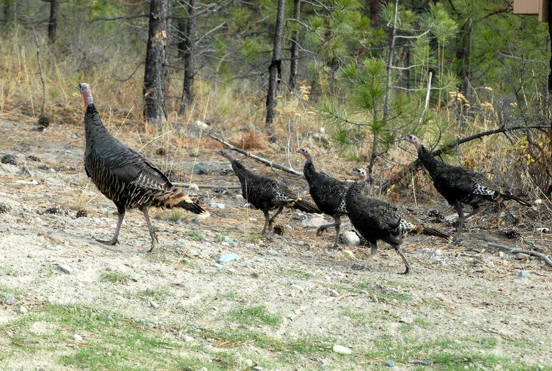 Turkeys_0732_edited-1