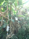 Bananaharvest_4