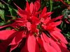 Poinsettia_3